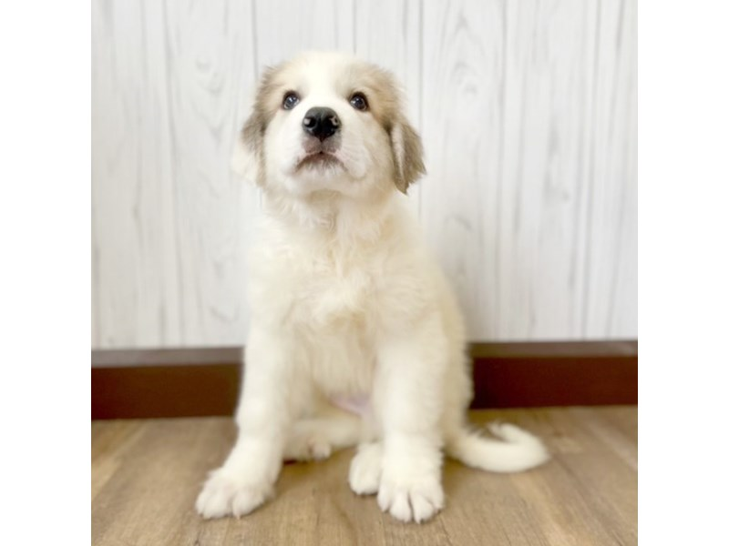 Great Pyrenees-Male-White-2956651-Petland Eastgate
